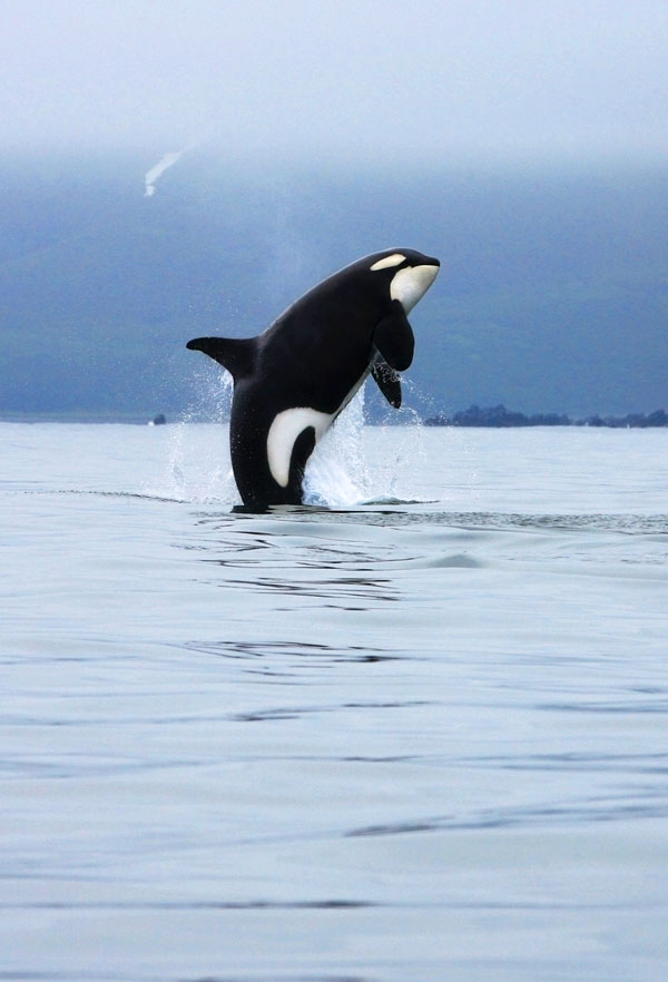 Symbolic Orca Whale Meaning on Whats-Your-Sign