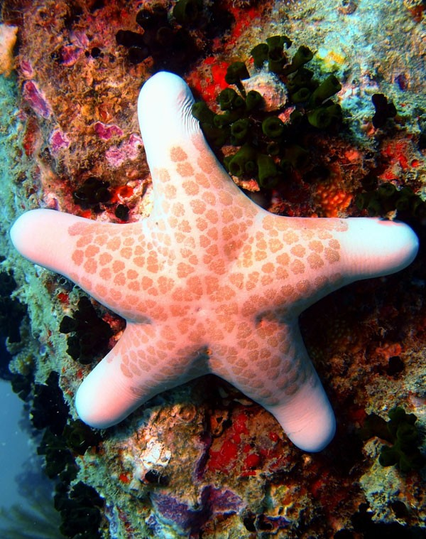 Symbolic Starfish Meaning And Starfish Totem On Whats Your Sign