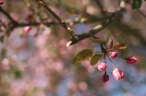 tree blossoms spring 2017