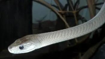 significado-sonar-con-serpiente-blanca