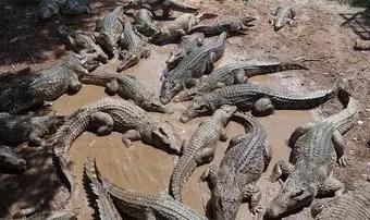 que-significa-sonar-con-muchos-cocodrilos-caimanes