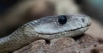 que-significa-sonar-con-serpiente-de-color-gris