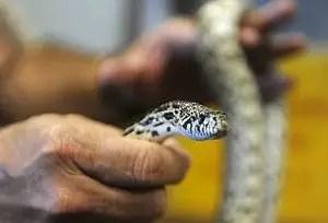 que-es-sonar-atrapar-coger-serpientes-culebras-viboras