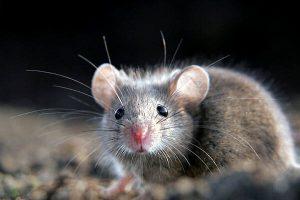 roedor olhando para mim