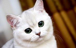 O Que Significa Quando Um Gato Branco Cruza Seu Caminho?