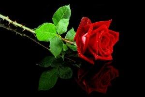 Reflexão do dia: A Parábola da Rosa, uma história para pensar