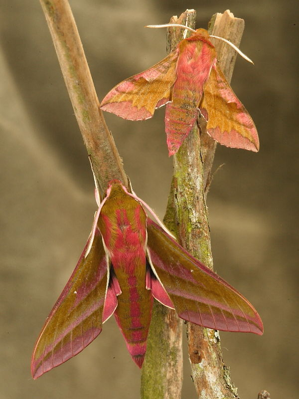 small-and-large-elephant-hawk-moths-1053