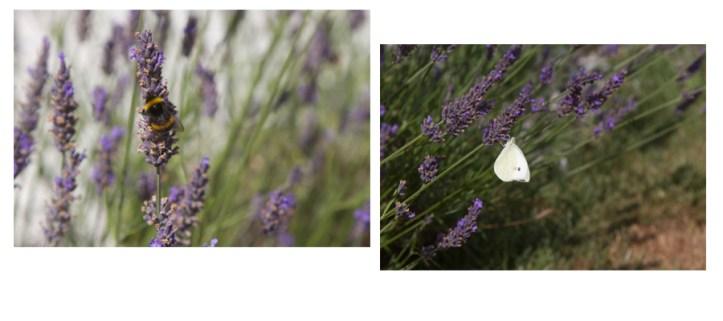 blog lavender