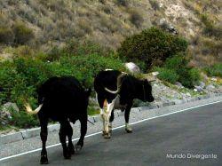Vacas del camino