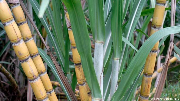 فضلات قصب السكر كوقود حيوي