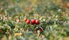 الطماطم كنز من الفوائد الصحية.. تعرف عليه