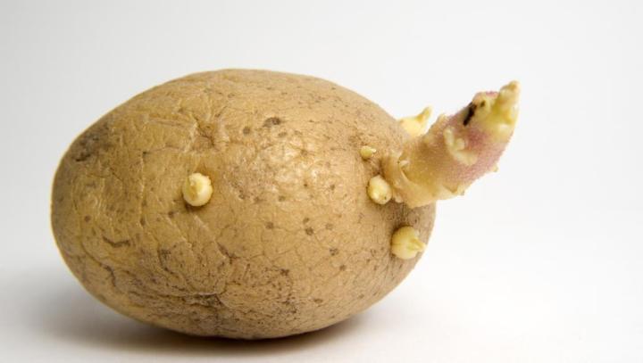 احذر.. درنات البطاطس تحتوي على سم