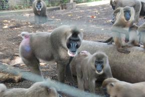 Drill monkeys, Calabar.Nigeria