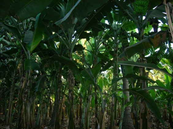 Banana fields - Hampi