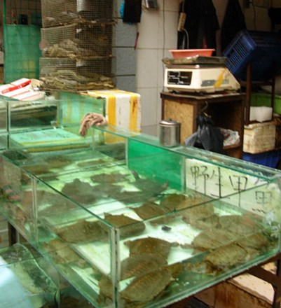 Turtles grown to be sold and made into delicious soups struggled in only inches of water.