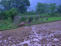 Mist swirled around the base of the lush mounds of earth, wandering magically and timelessly above the fields of rice and around the ankles of water buffalo hauling wooden ploughs.