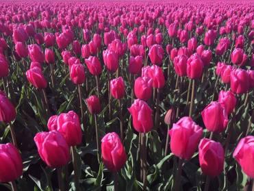Tulips of Alkmaar. Netherlands
