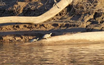 Amazon river turtles, Peru