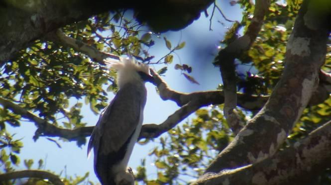 Peruvian Rainforest - Harpy Eagle