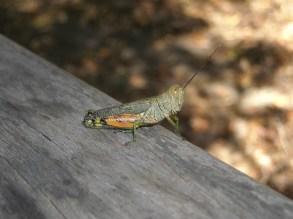 giant bug in Kakadu National Park