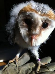 Echo the barn owl. 6weeks