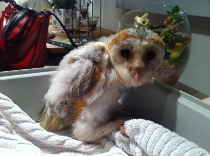 Echo the barn owl. 6 weeks