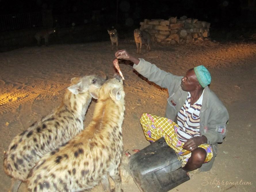 This man feeds the hyenia nightly. Harar