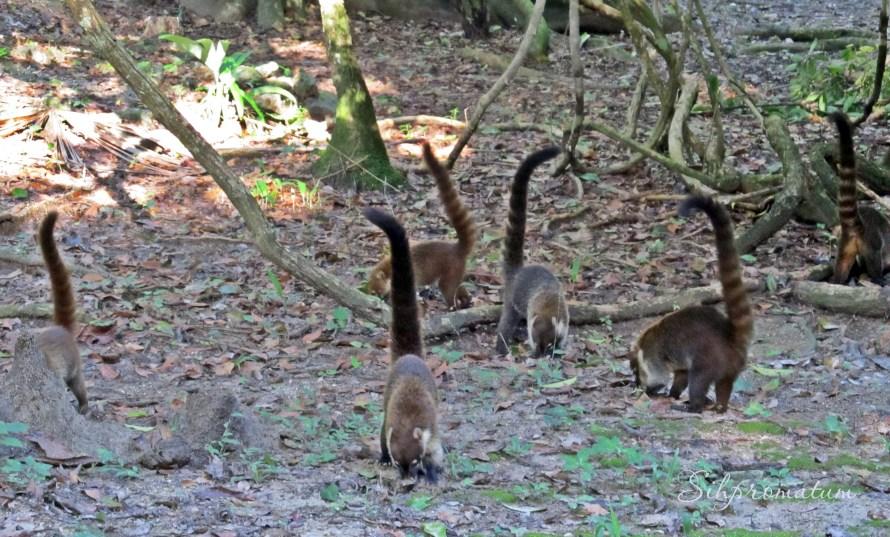 Coatimunki Tikal National Park