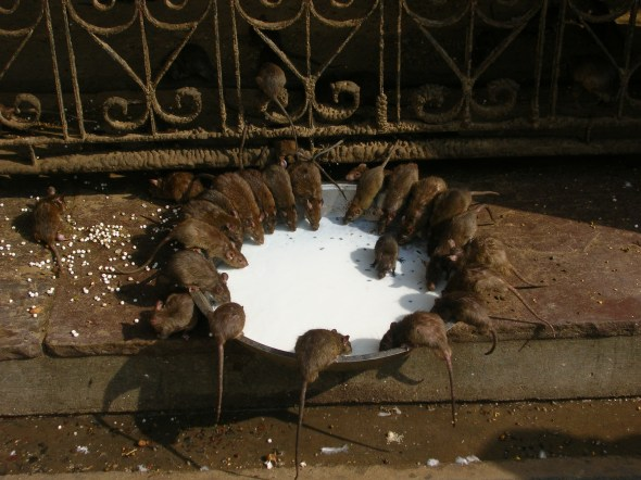 Sacred rats in the Temple - Deshnok