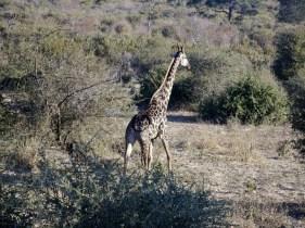 Chobe National Park, Giraffe, Botswana