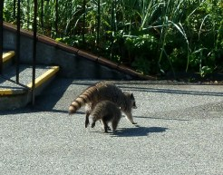 Racoons sneaking about in Victoria, BC