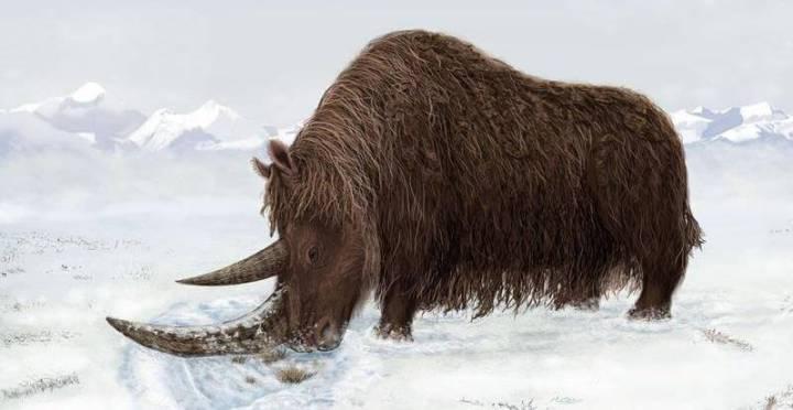 Coelodonta, Badak Kutub Purba