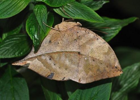 Kallima inachus con le ali chiuse