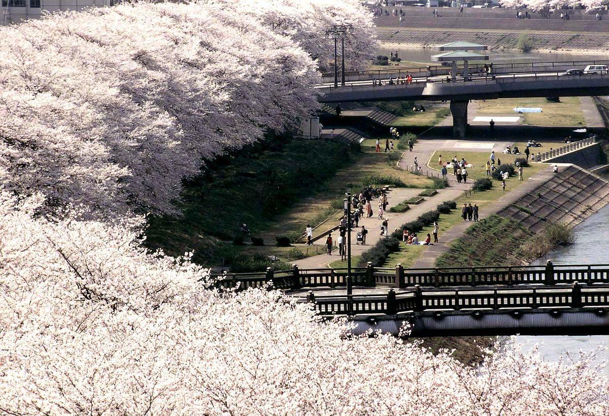 足羽川桜並木(ウィキペディアから引用)