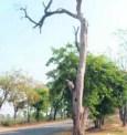 punjab-trees