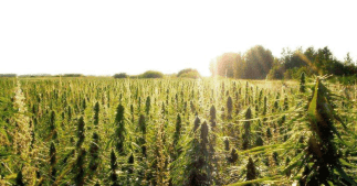 cultivation-hemp-farm[1]
