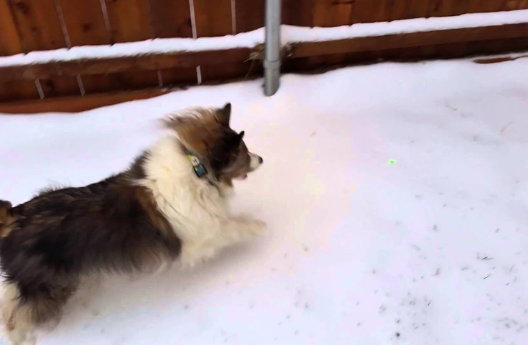 Hobbit and Browser playing snowy with laser pen