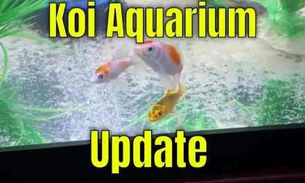 Koi Aquarium Update 12.8.2019