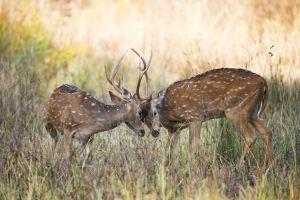Asana vs. Basecamp vs. Trello vs. Podio feature image. Two stags fighting