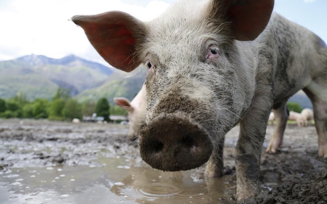 IBM uses blockchain to track pork supply chain in China