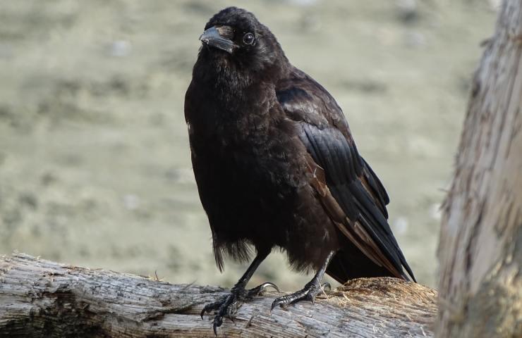 BC Blackbird