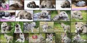 Aracho vom Bayerischen Jura – Collage 1. – 12. Lebenswoche