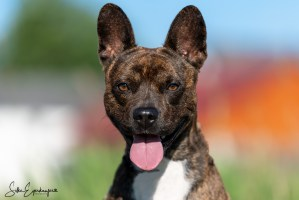Fluffy – French Bulldog/Basenji Mix, 7 Monate alt