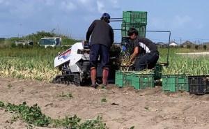 玉ねぎ収穫の写真