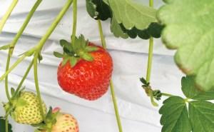 シルクファーム、夏秋イチゴの実