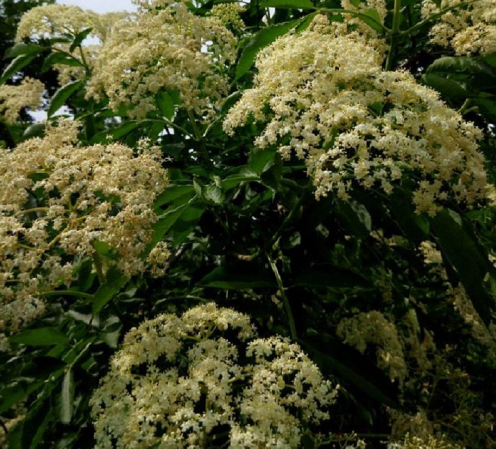Fiori della pianta di Sambuco
