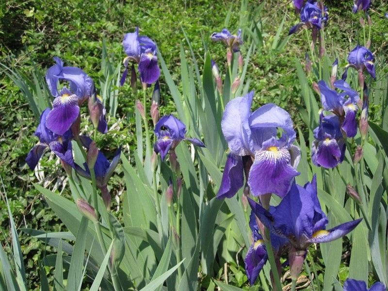 Iris tradizione antica che ha sfamato molte famiglie