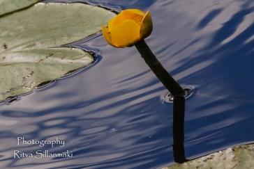 waterlillies-25
