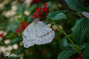 butterfly-white-morpho