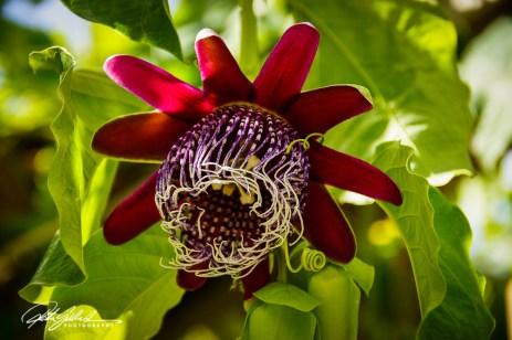 passiflora-pura-vida-3